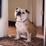 Paterson Marvin British Bulldog